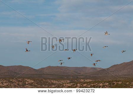 Pintail Ducks in Flight