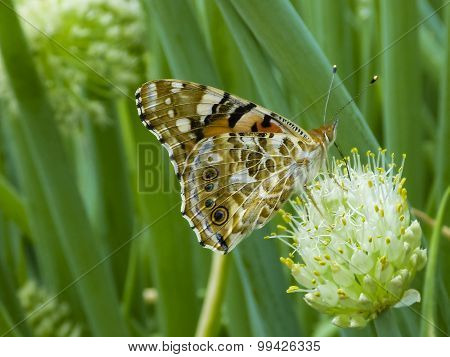 Butterfly On The Flower Of A Green Onion