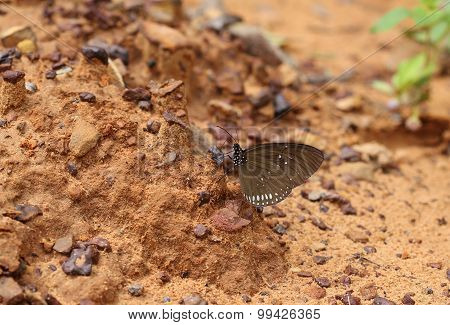 Common Indian Crow Butterfly (euploea Core Lucus)