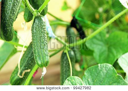 Green cucumbers hang on a green branch.