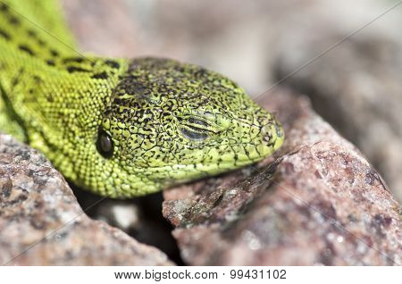 Sand Lizard (lacerta Agilis) Male Sunbathing Close Up