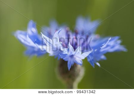 Cornflower Close Up (centaurea Cyanus)