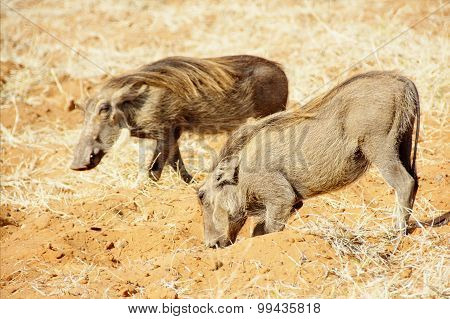Two Warthogs in Red Sand