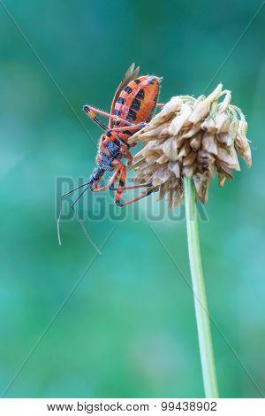 Rhynocoris Rubricus