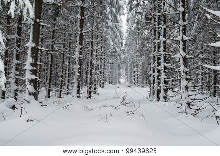 Forest Landscape In Winter