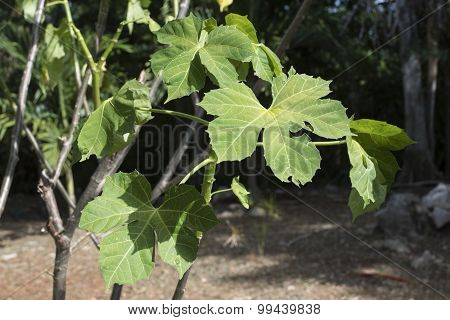 Chaya Tree Growing In Yucatan Jungle