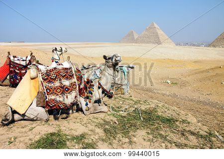 Camels and Pyramids, Giza, Egypt