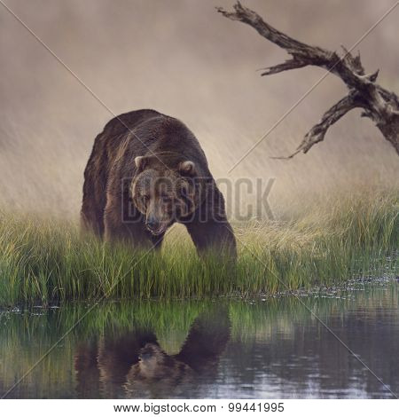 Grizzly Bear Near the Pond