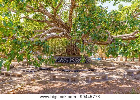 Old Tree In Gondar