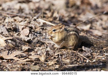 Eastern Chipmunk (Tamias striatus) eating seeds on the ground - Ontario, Canada