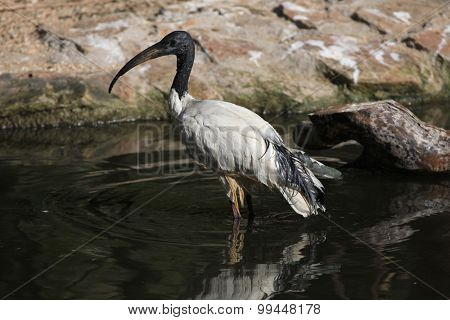 African sacred ibis (Threskiornis aethiopicus). Wild life animal.