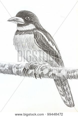 Black-and-red Broadbill Bird Drawing