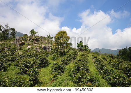 Coffee plantations in the highlands of western Honduras