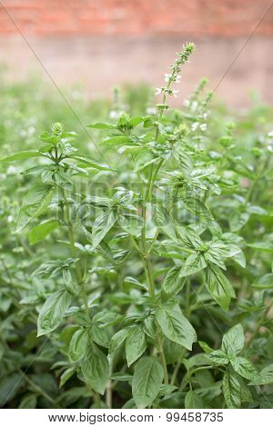 Part Of Basil Plant