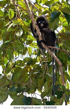 Dusky blad Monkey zitten In een boom