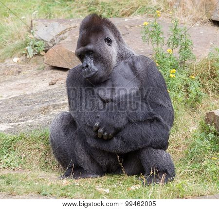 Silver Backed Male Gorilla