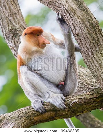 Proboscis Monkey In A Tree