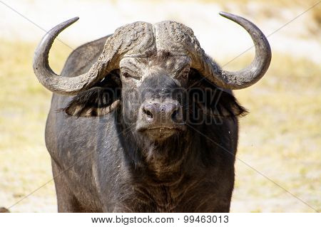 Closeup of a Buffalo Bull with its Big Horns, in Chobe National Park, Botswana, Southern Africa, Closeup of a Buffalo Bull with its Big Horns, in Chobe National Park, Botswana, Southern Africa
