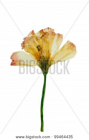 Pressed And Dried Flower Eustoma (lisianthus). Isolated On White Background.