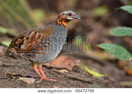 Rufous Throated Partridge