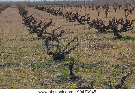 Dried Plants Of Vine
