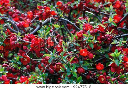 Red Japanese Quince - Chaenomeles Speciosa