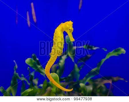 A seahorse in an aquarium, blue background, close up