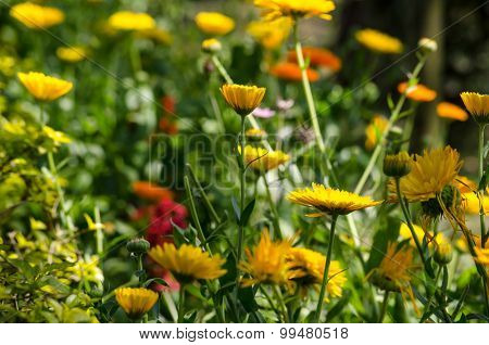 Sulfur Cosmos And Yellow Cosmos Is Cultivars Appear In Shades Of Yellow, Orange, And Red.