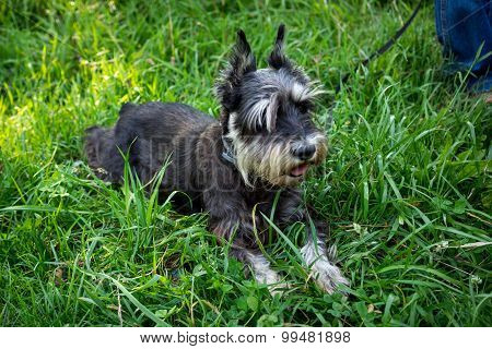 Miniature Black And Silver Schnauzer Laying In The Grass