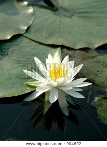 White Lotus In Sunny Day