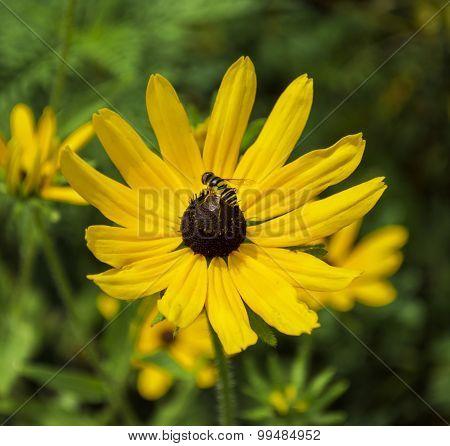 Bee on Black Eyed Susan Yellow Flower