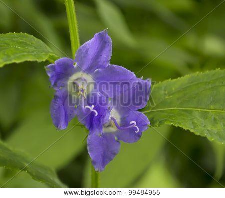 Purple American Bellflower - Campanulastrum americanum