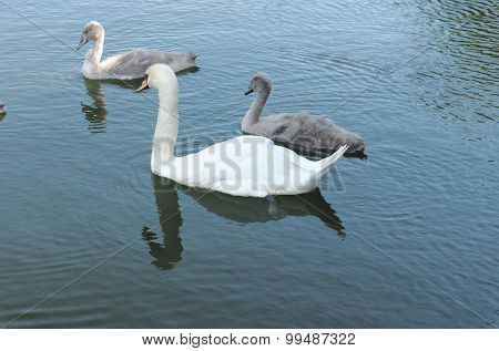 Swan and cygnet's swim in the lake