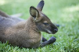 stock photo of wallabies  - Wallaby sleep on grass in natural park - JPG