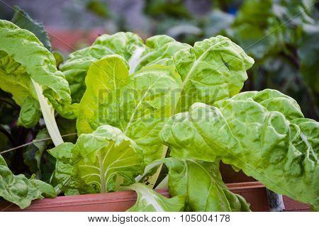 Bio gardening; chard or leaf beet