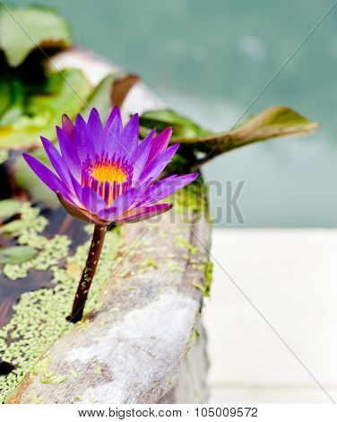 Waterlily, water lily floating in a stone pot