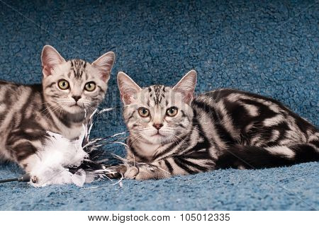 Two american shorthaired kitten on blue sofa