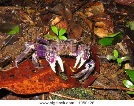 Purple Land Crab