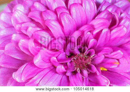 Zinnia Petals Background