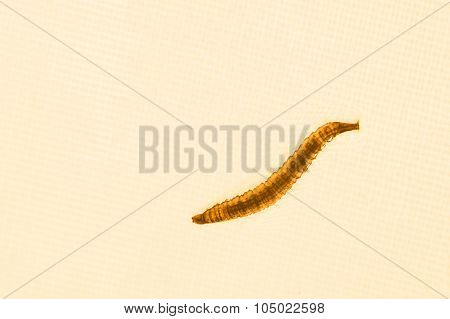 Close up of mosquito larvae with orange lighted background