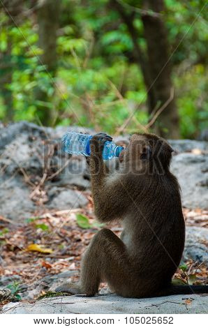 Monkey Rhesus Macaque drinking from a water bottle
