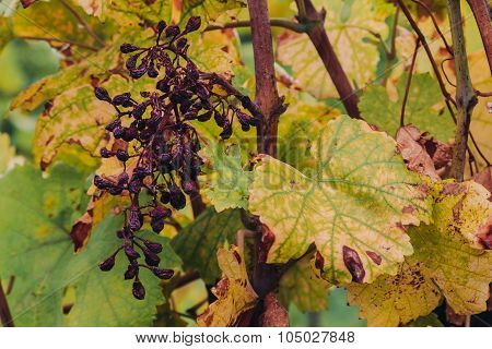 Old Withered Grapes At A Winery