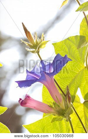 Morning Glory Blooms And Buds