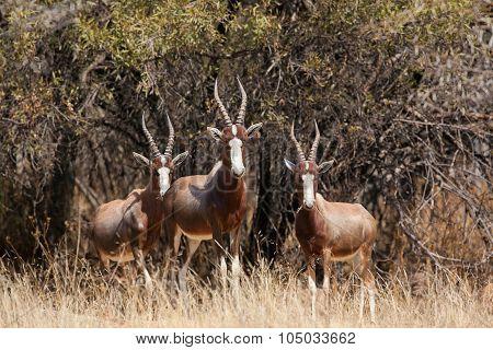 Blesbuck herd
