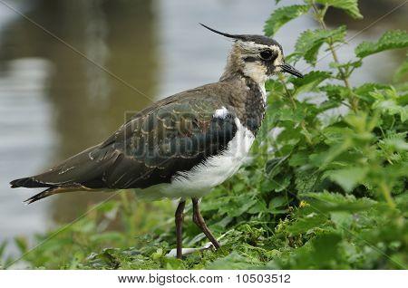 Juvenile Lapwing