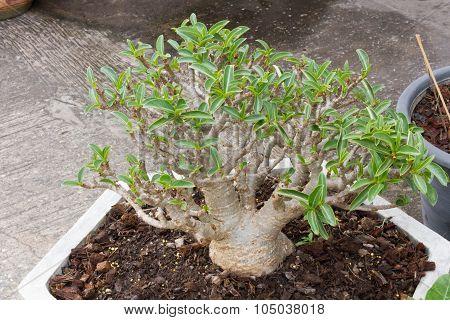 Aenium Tree - Socotra , Rose Desert