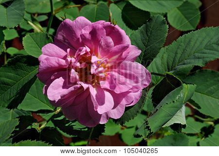Flower rosehip.