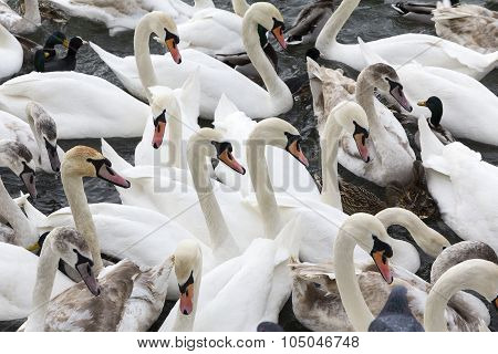 Group Of Swans Floating On The Water