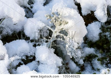 First Snow On Dusty Miller Plant