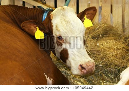 Young Cow In The Barn